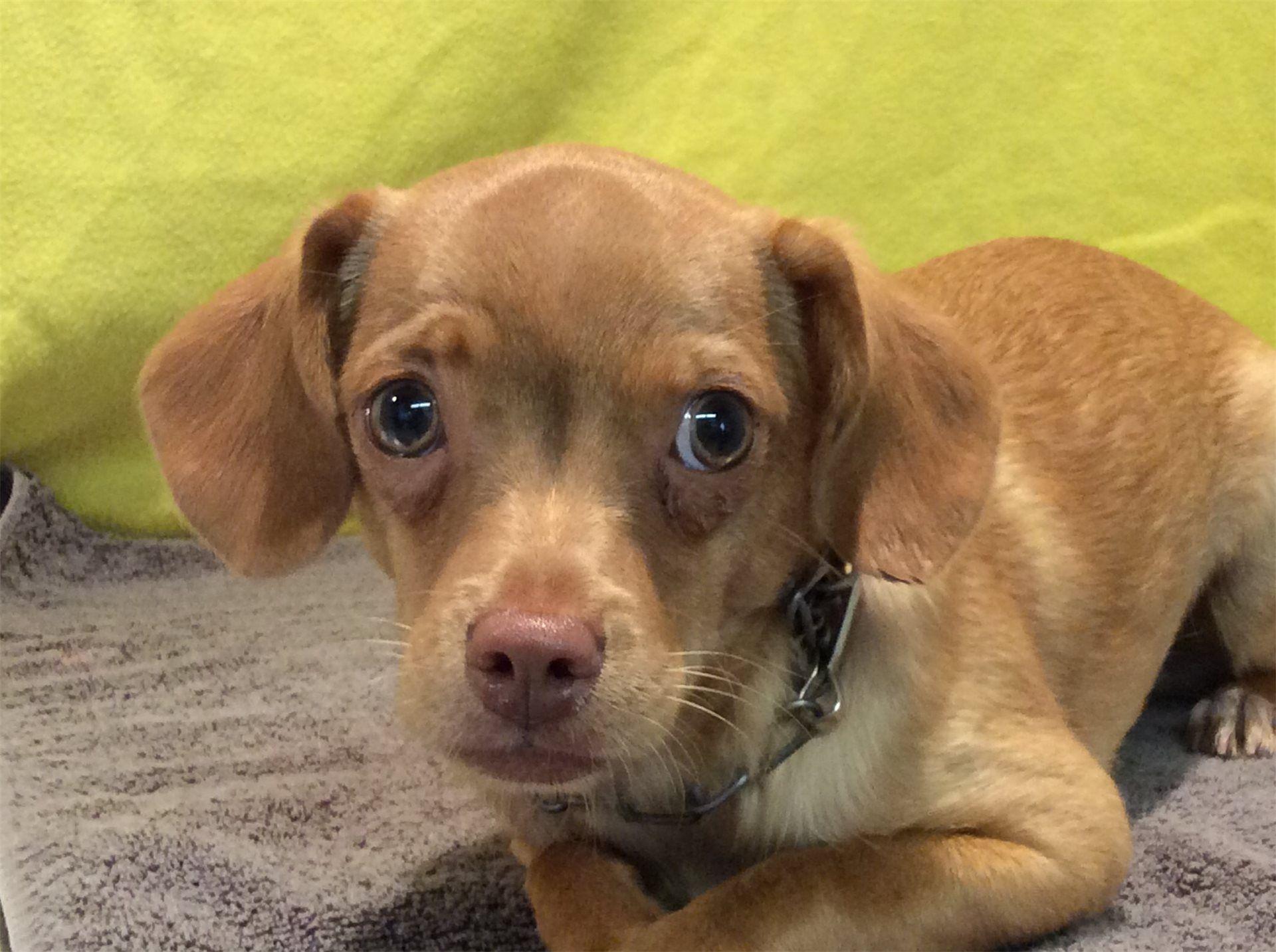 Beagle dog for Adoption in pomona, CA. ADN532617 on