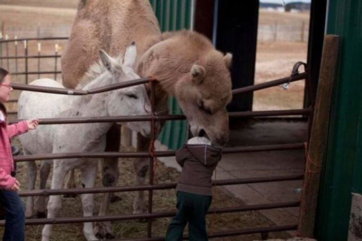 camello muerde a niño