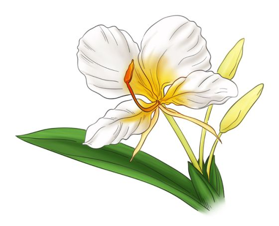 Butterfly Ginger Small In 2020 Flower Illustration Lily Painting Flower Drawing