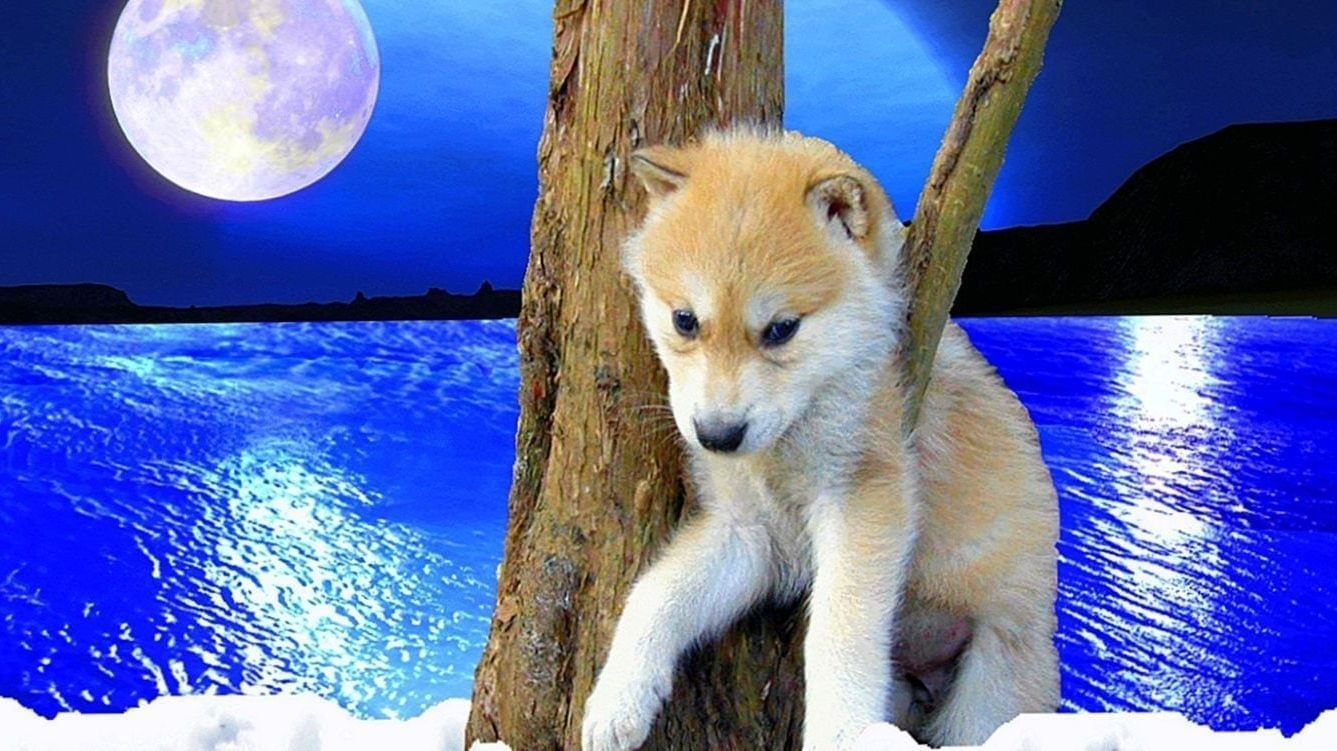 Baby Wolf Pictures For Wallpapers Baby Wolf Pictures For Wallpapers Wolf Wallpaper Wolf Pictures Baby Wolf