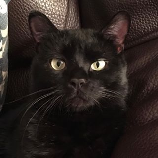 My Black Cat Finally After Traveling For 30 Years I M Able To Have One At Home Again He S Healthy Young Friendly Large And Very Black Cat Cats Cat Love
