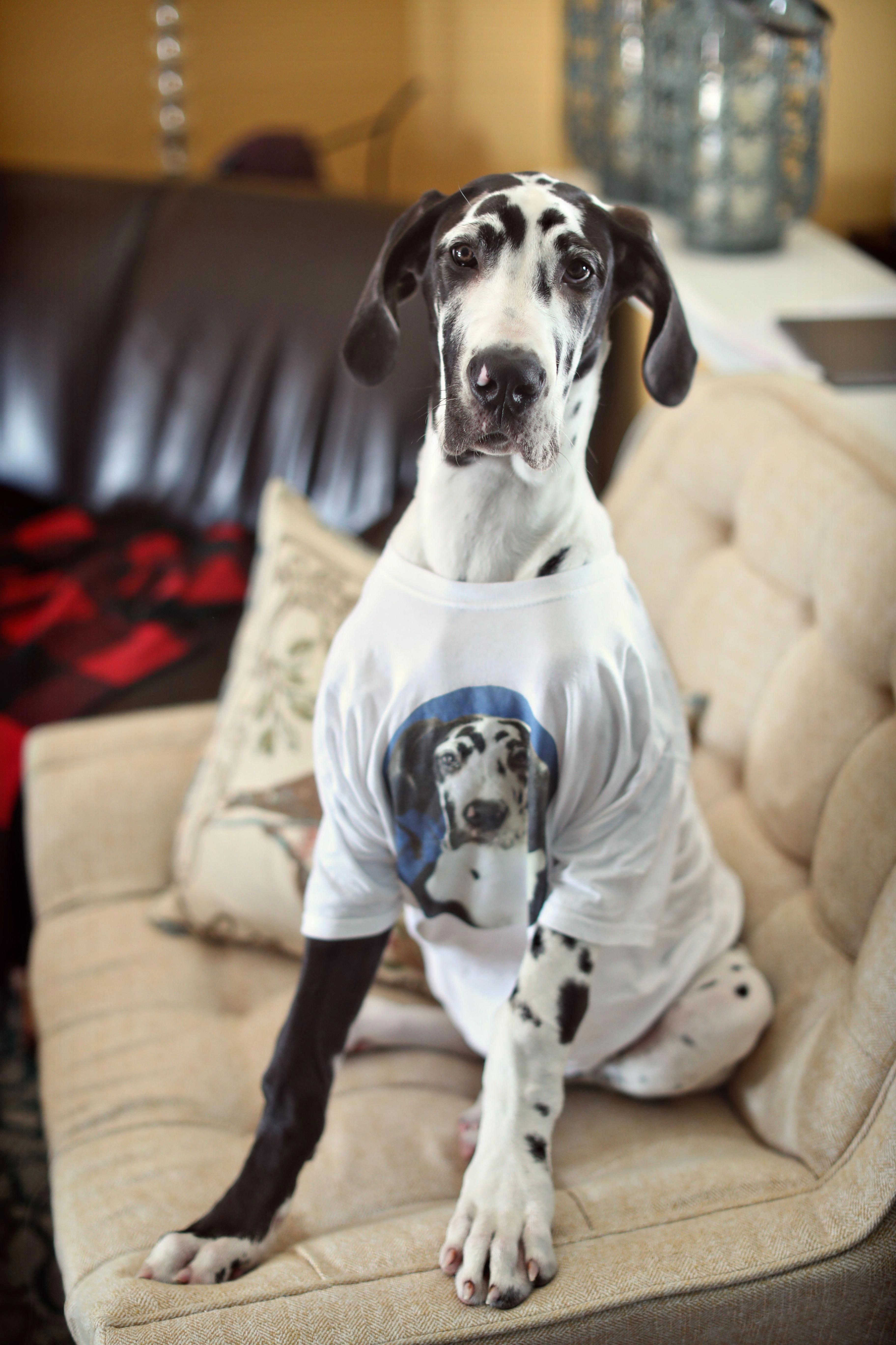 """Acquire terrific tips on """"great dane puppies"""". They are"""