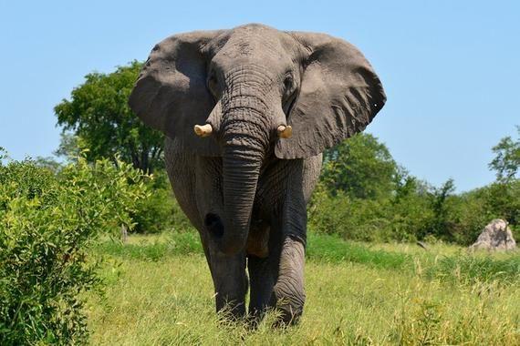 Elephant Roaming Photography A91659 (6 Sizes Art Prints