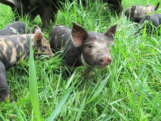 Idaho Pasture Pigs