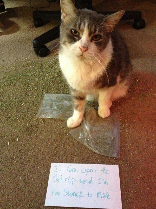Catnip Not Even Once 30 Photos Bad Cats Cat Shaming Animal Shaming