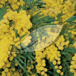 Acacia Dealbata Gaulois Astier 5 Litres Evergreen Shrubs Mimosa Tree Evergreen