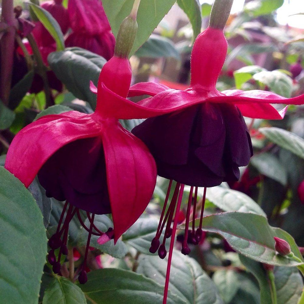 With Its Trailing Habit The New Millenium Fuchsia Offers Large Deep Purple And Hot Pink Blooms That Are Sure To Attract A Fuchsia Plant Plants Fuchsia Flower
