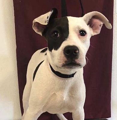 Pomfret Ct Pit Bull Terrier Meet Baby A Dog For Adoption