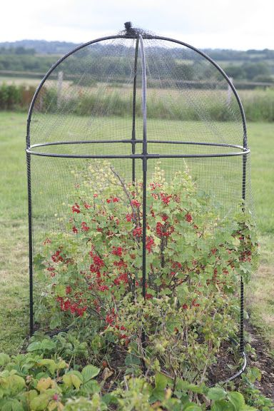 Round Fruit Cage---need about 14 of these for the blue berry bushes.