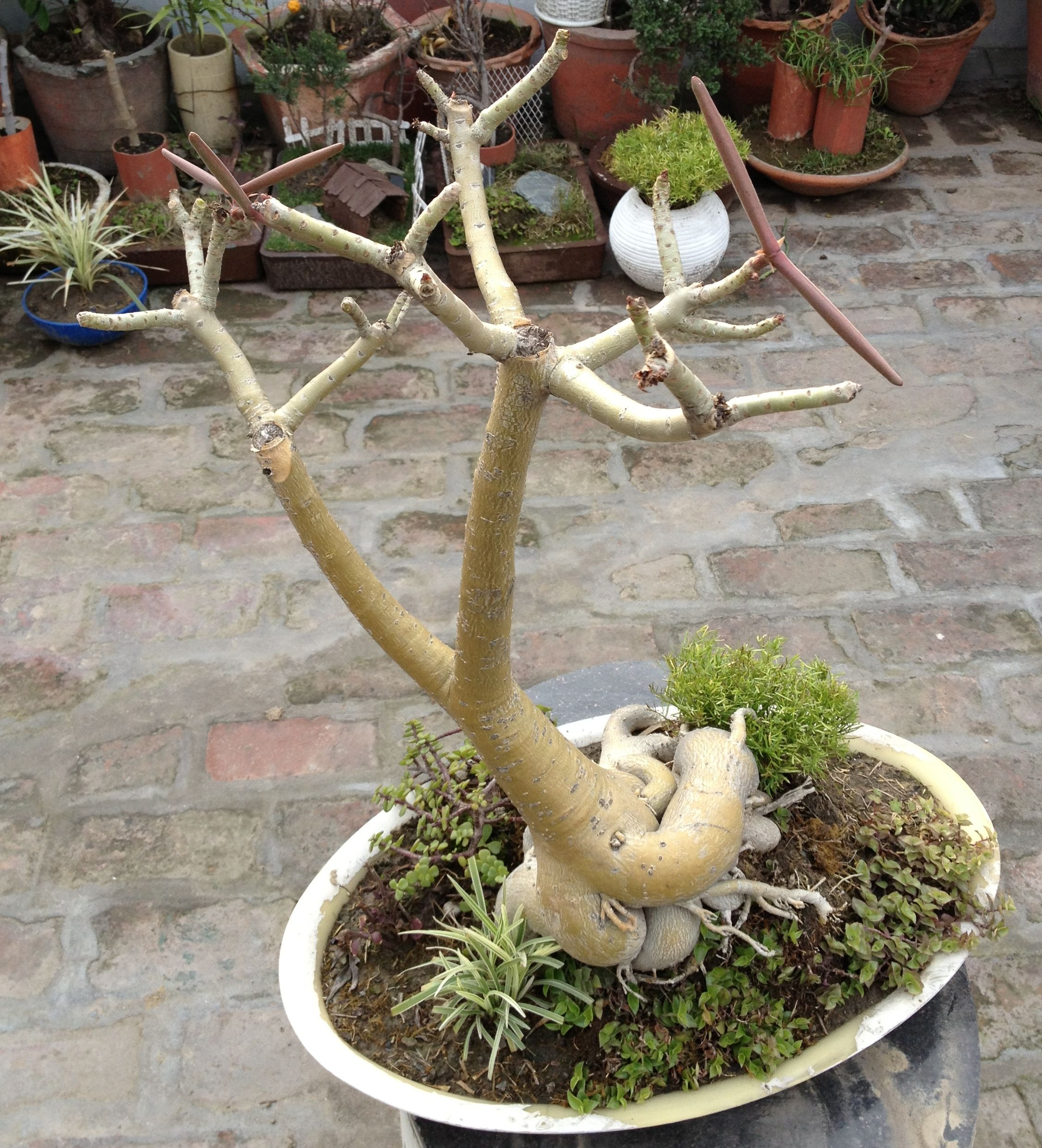 15 years old bonsai plant