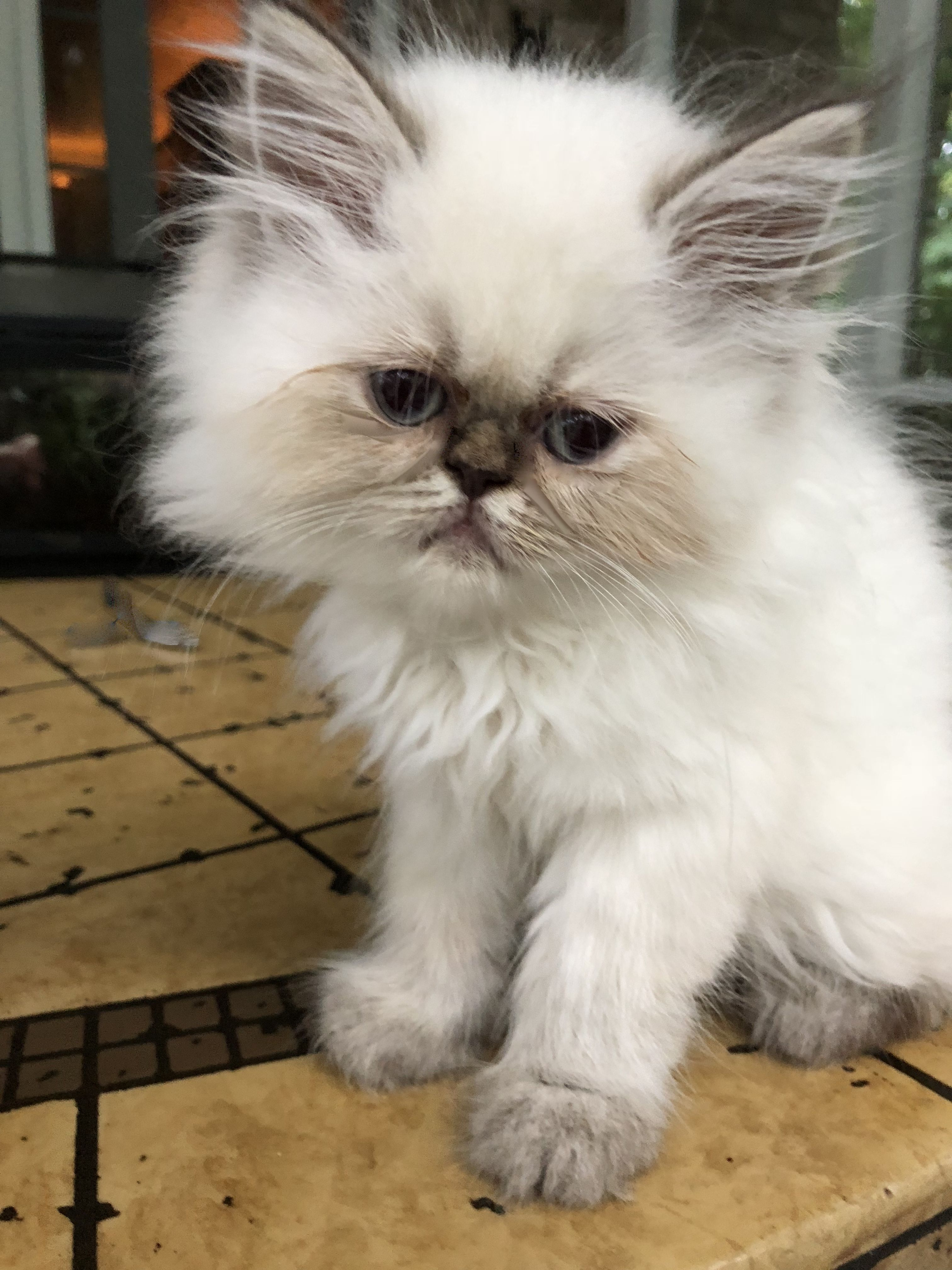 Himalayan Persian Daisy Is Looking For Her New Mommy Pricing On