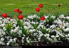 Image result for red tulips white pansies