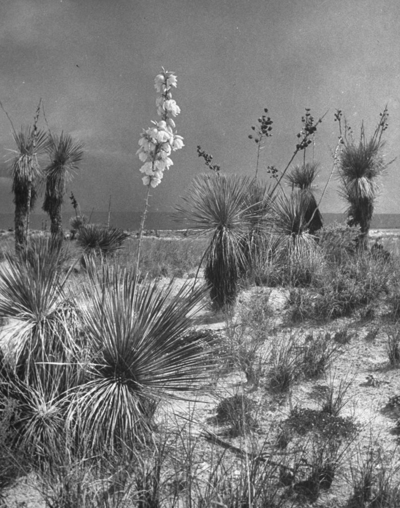 Flowering yucca plants in Big Bend National Park. Photo: Alfred Eisenstaedt, Getty Images / Time Life Pictures