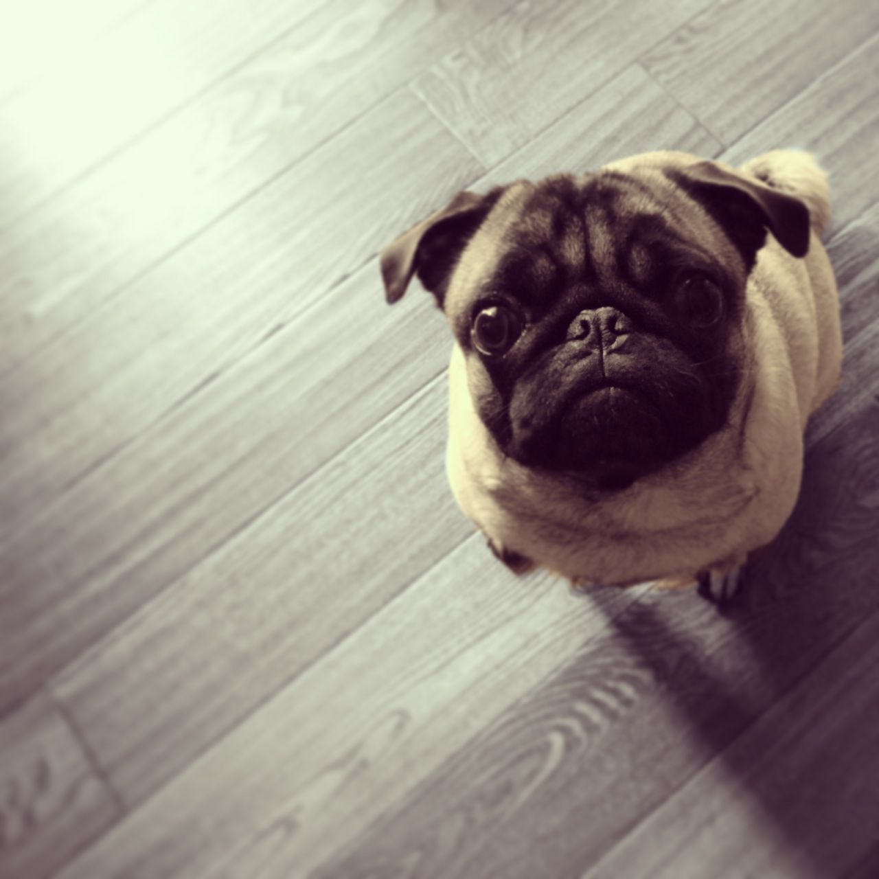 My Pug Gadget Turns 2 Years Old Today She Was The Runt Of The