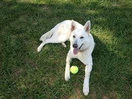 Image Result For White German Shepherd Siberian Husky German
