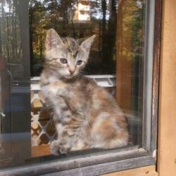Cleopatra is an adoptable Domestic Short Hair Cat in Wells, ME. Cleopatra is a torti color with double paws. She has been raised with cats and dogs. She is very friendly and loving and would make so...