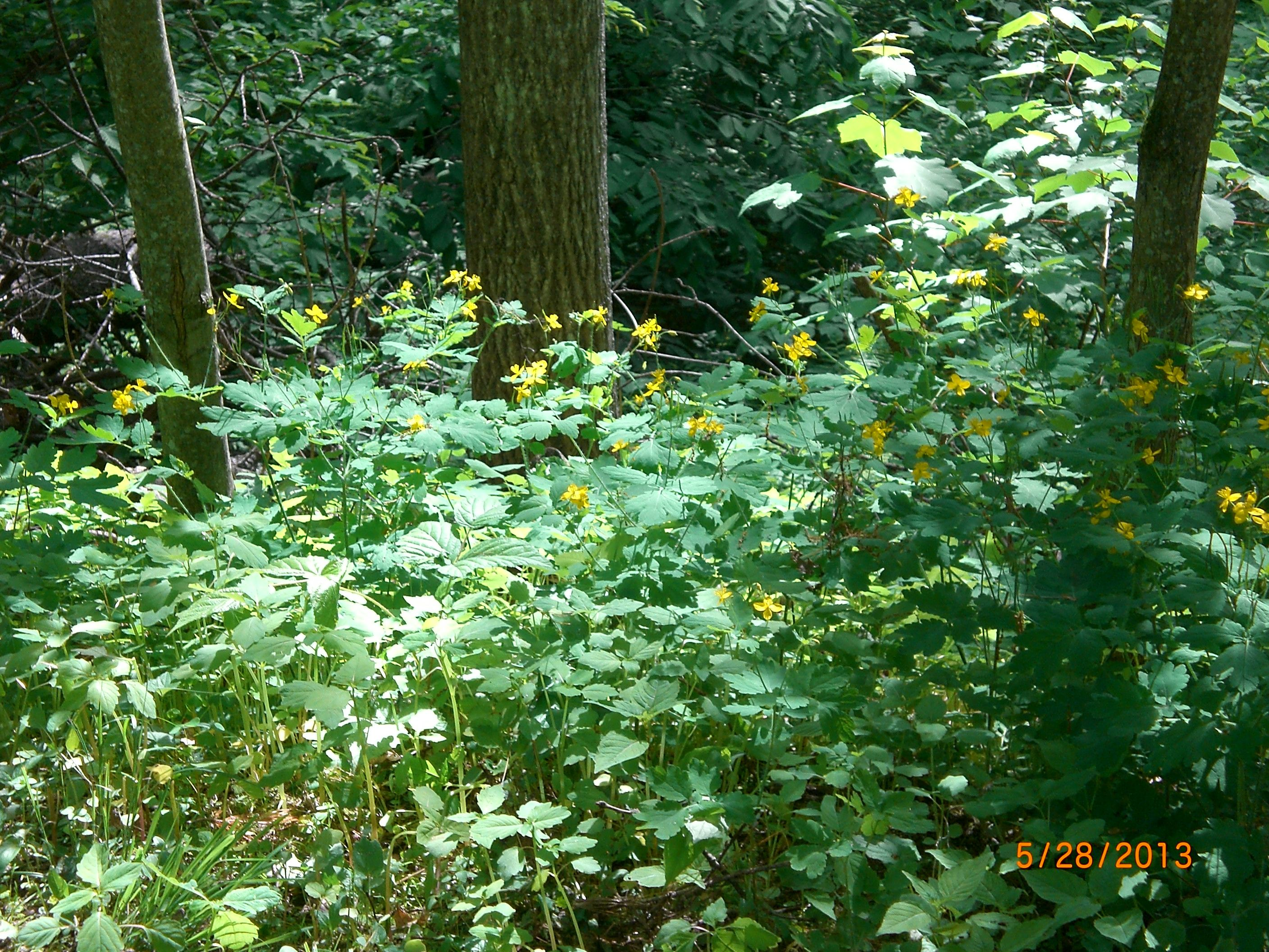 Petite Yellow Blooms Growing Wild