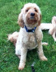 Adopt Md Scout Adopted On Fur Babies Adoption Poodle