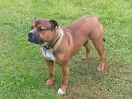 Big Boy Bruce American Bulldog X Bullmastiff X Rottweiler Bull