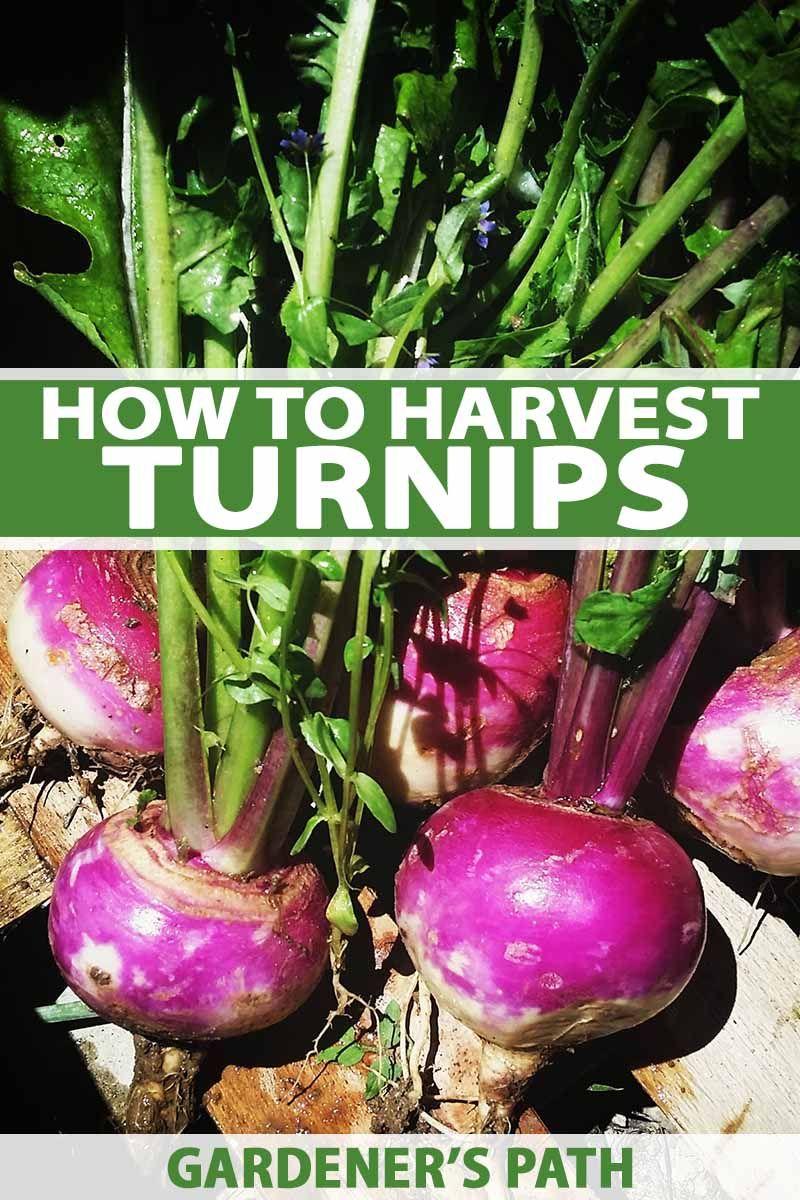 How to Harvest Turnips | Harvest, Vegetable garden tips ... Turnip Companion Plants