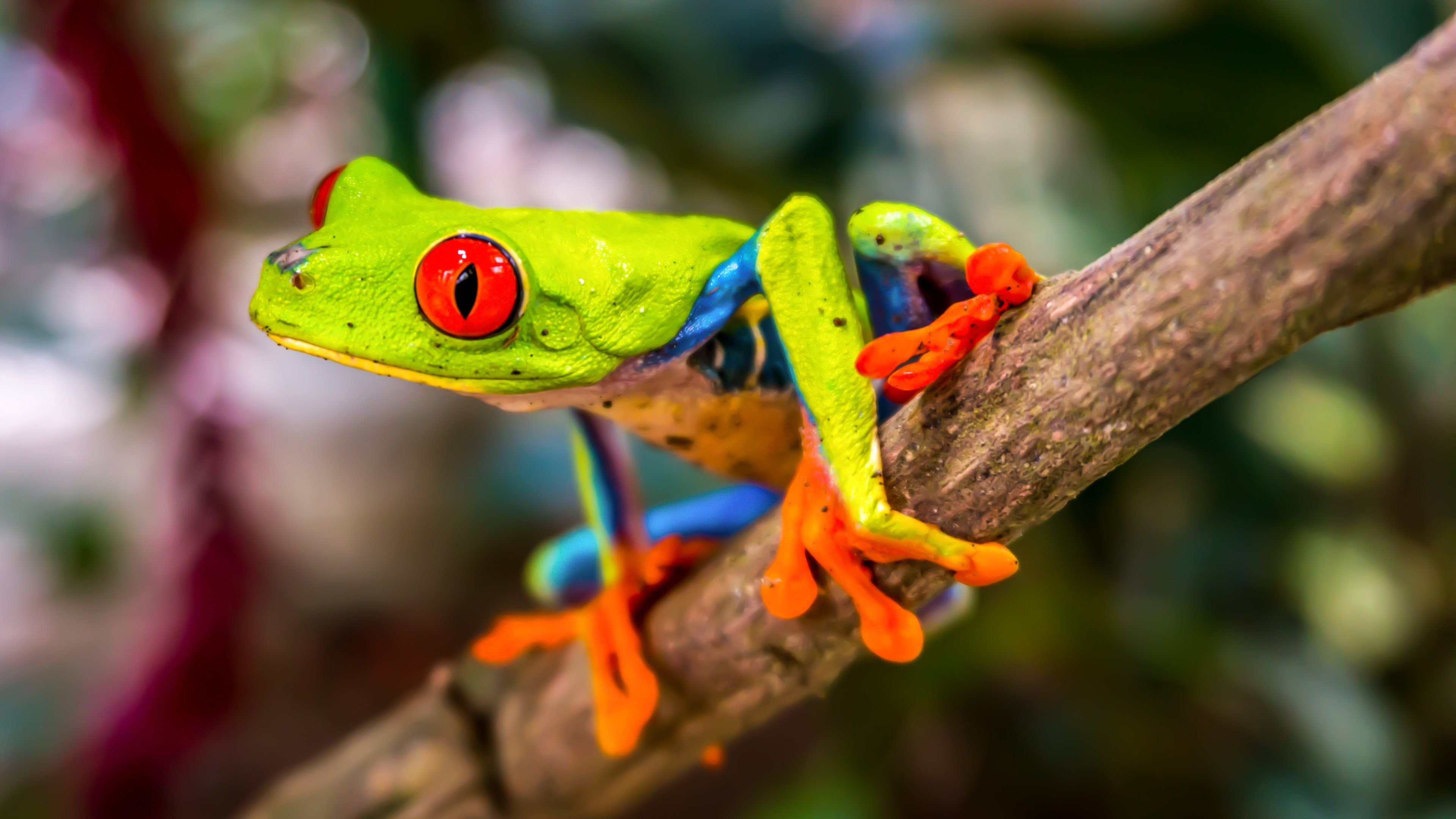 Beautiful Tree Frog Red eyed tree frog, Frog wallpaper