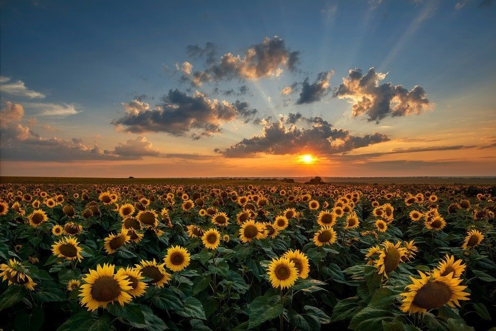 Sunflower Field With Images Fall Photography Nature Nature