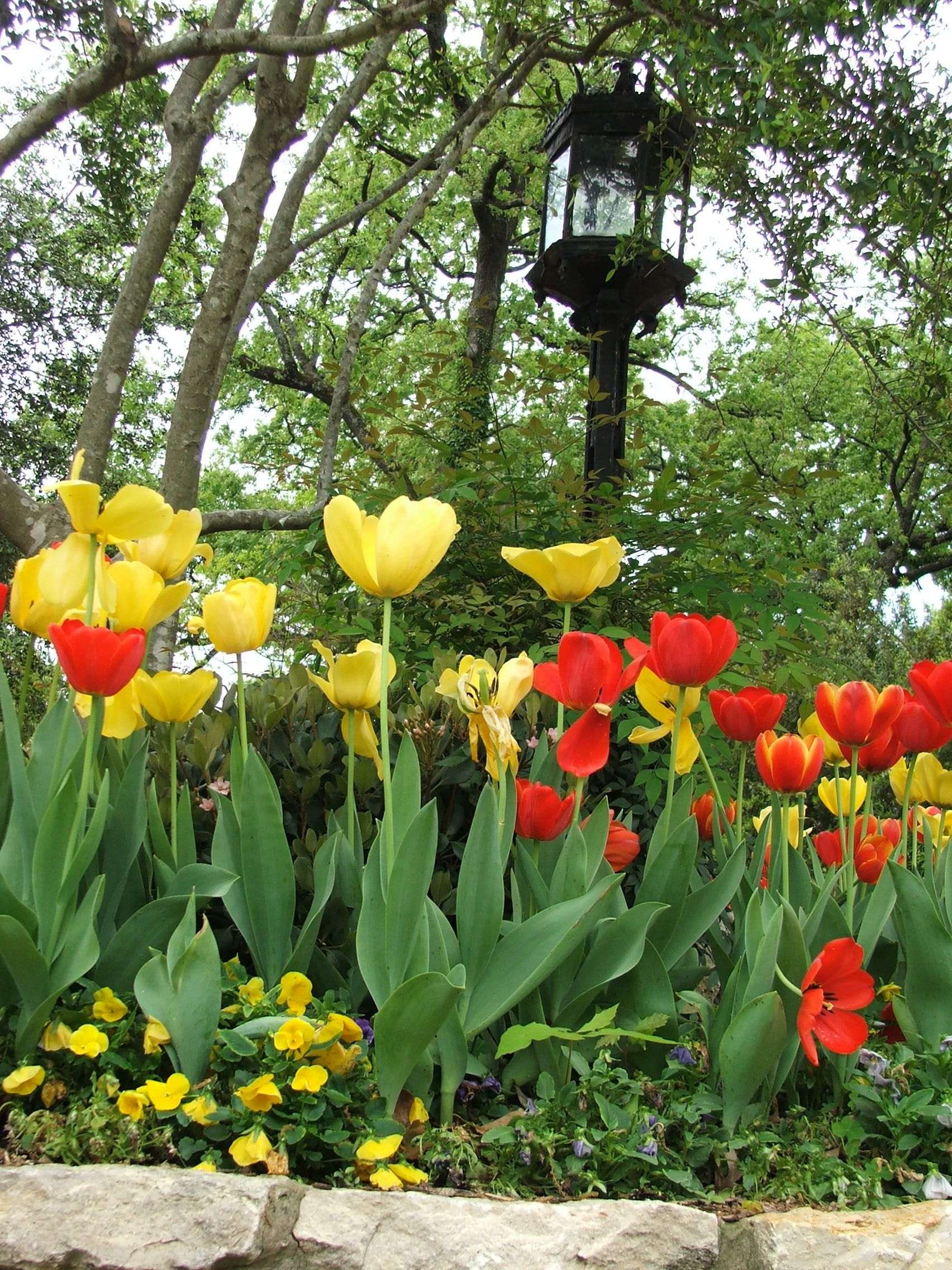 Beautiful tulips as seen during the Azalea Trail in Tyler