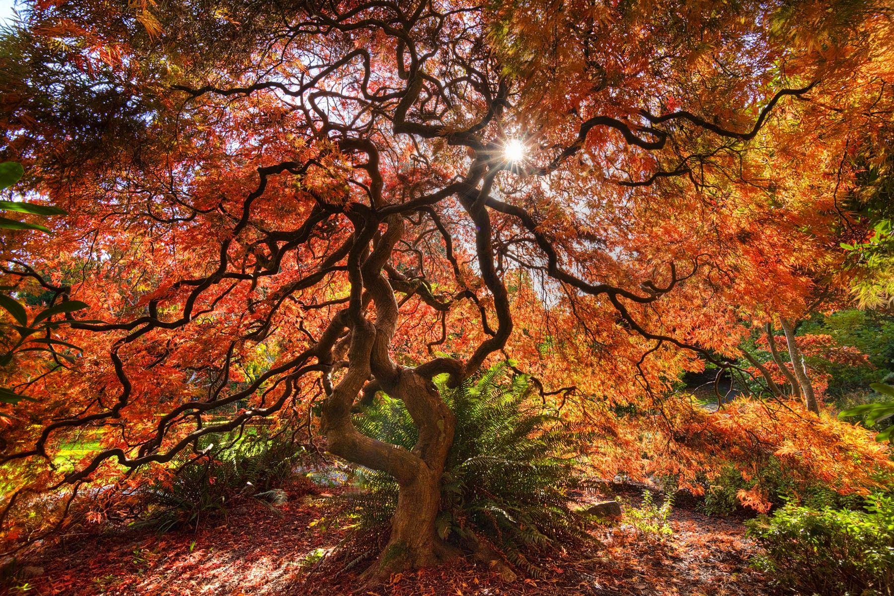 Japanese Maple ablaze in full fall glory. | Welcome to Halloweentown ...