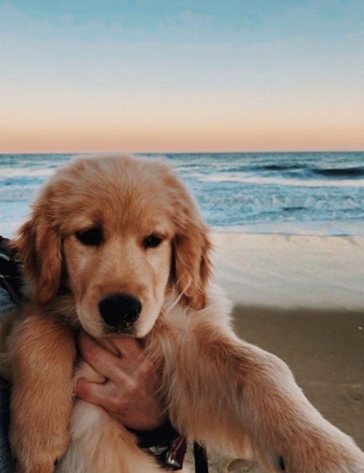 Alexismatheww On Pin Dogs Cute Dogs Dogs Golden Retriever
