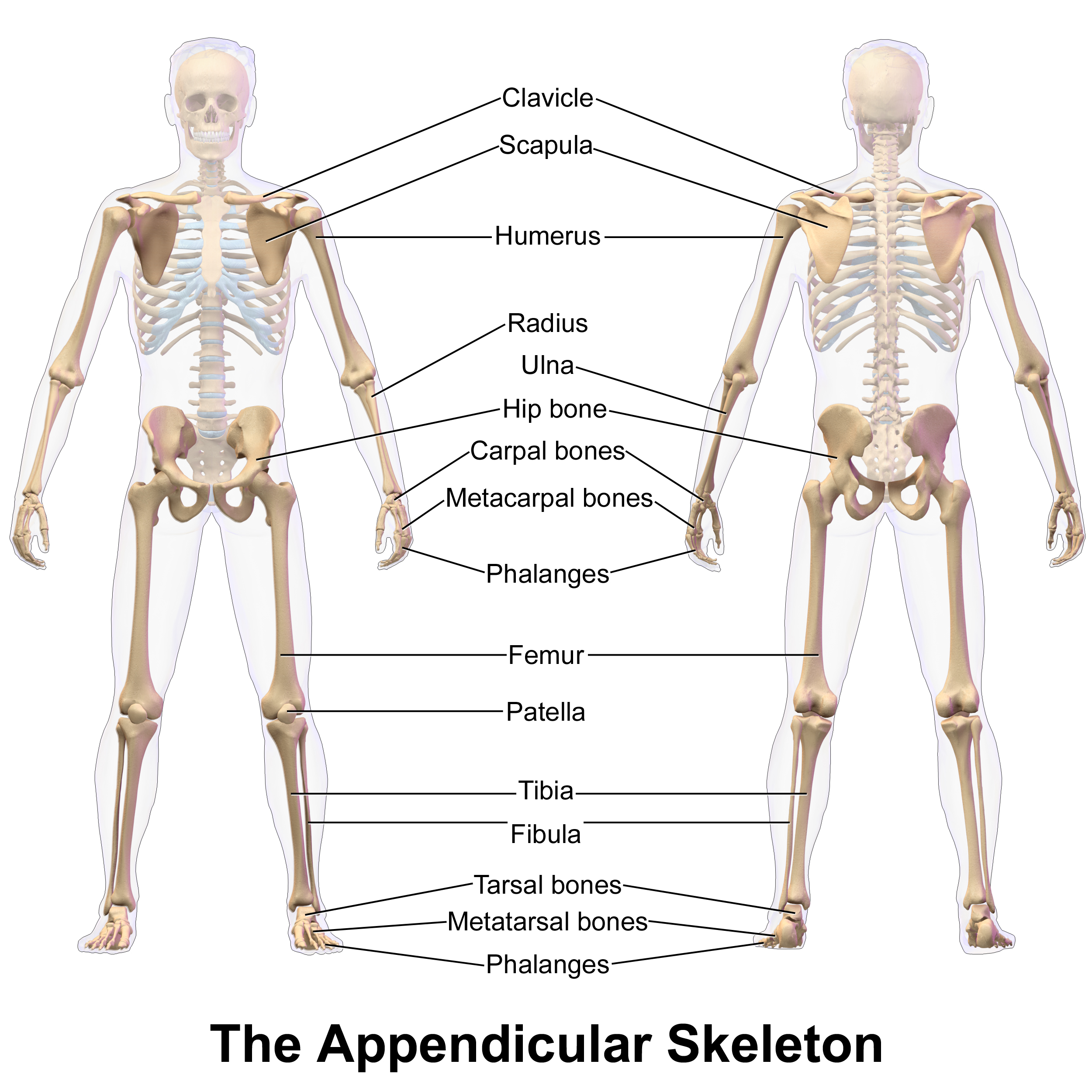 Axial Skeleton And Appendicular Skeleton