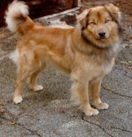 Adult Golden Shepherd Golden Retriever German Shepherd Mix