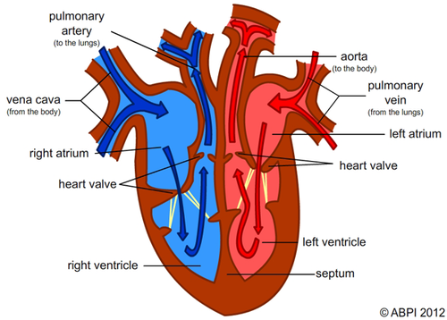 Httpsdryuc24b85zbroudfronttesresources6427592image httpsdryuc24b85zbroudfronttesresources6427592 circulatory systemrespiratory systemheart diagramks2 ccuart Image collections