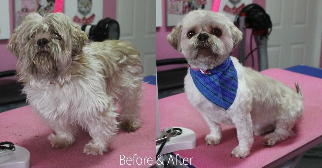 Storm Shihtzu Dog Dogs Doggrooming Doggroomer Petgroomer