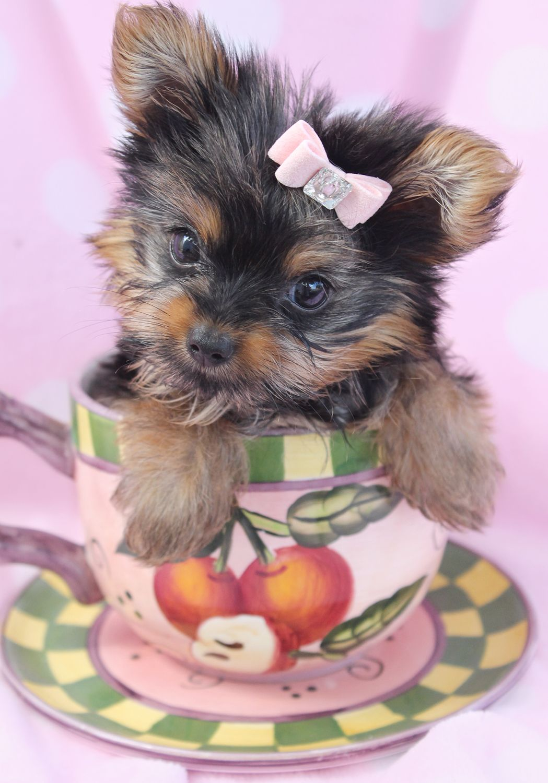 Beautiful Teacup Yorkie Puppies Miami Ft Lauderdale Area