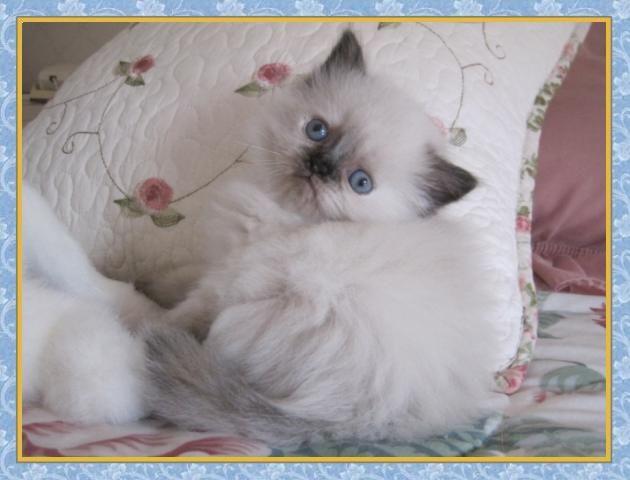 Himalayan Kittens For Sale Gatos