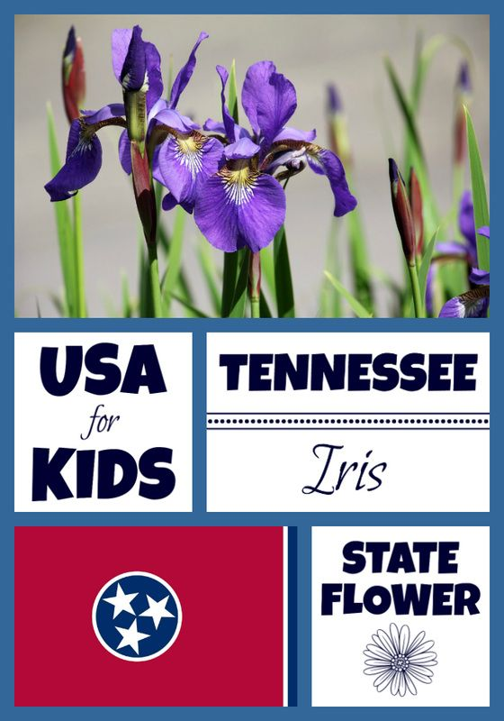 Tennessee State Flower Usa Facts Facts For Kids Flower