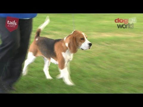 Windsor 2016 Best Puppy In Show Beagle Dogs Dogshows