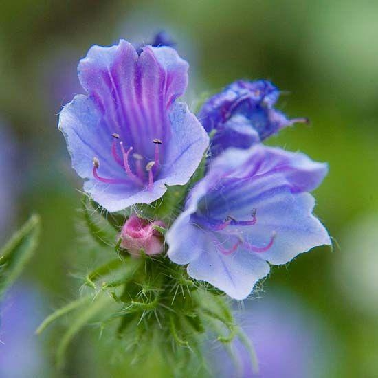 13 Of The Most Stunning Blue Flowers Blue Flowers Garden Blue Hydrangea Flowers Flowers