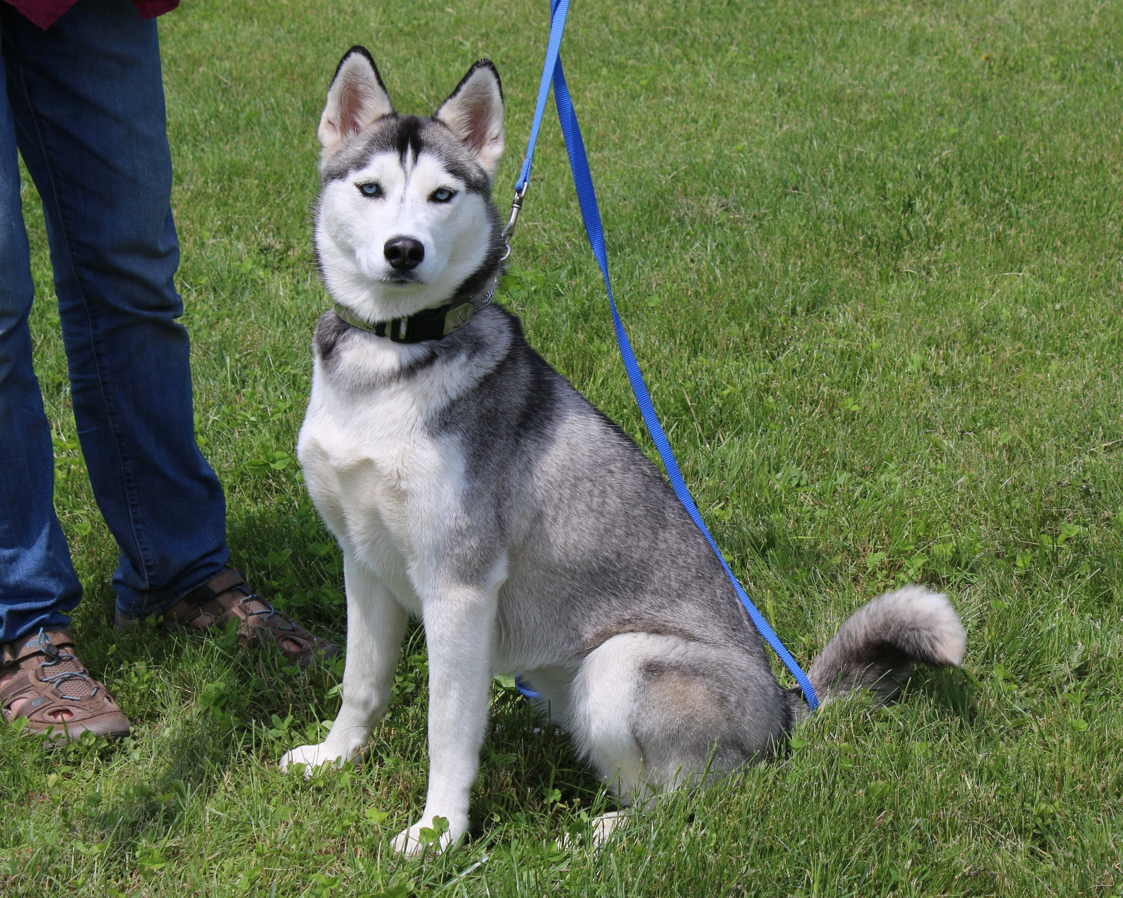 Adopt Keely on Petfinder Siberian husky mix, Dogs