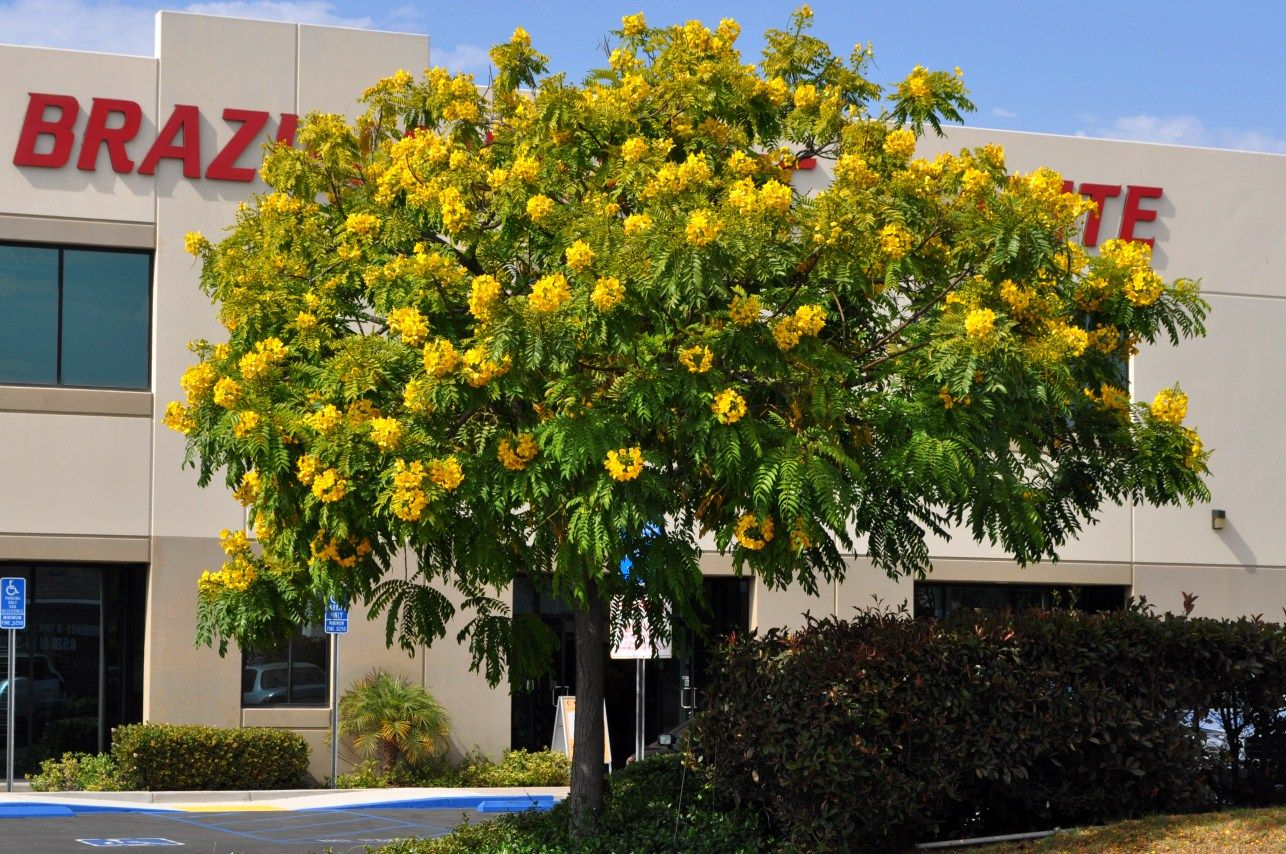 Trees With Yellow Flowers Carya Illinoensis Pecan Planted Occasionally Most