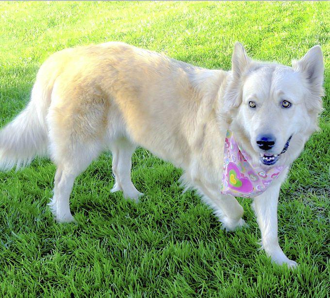 Luna Is A Mellow 3 Year Old White Shepherd Golden Retriever Mix