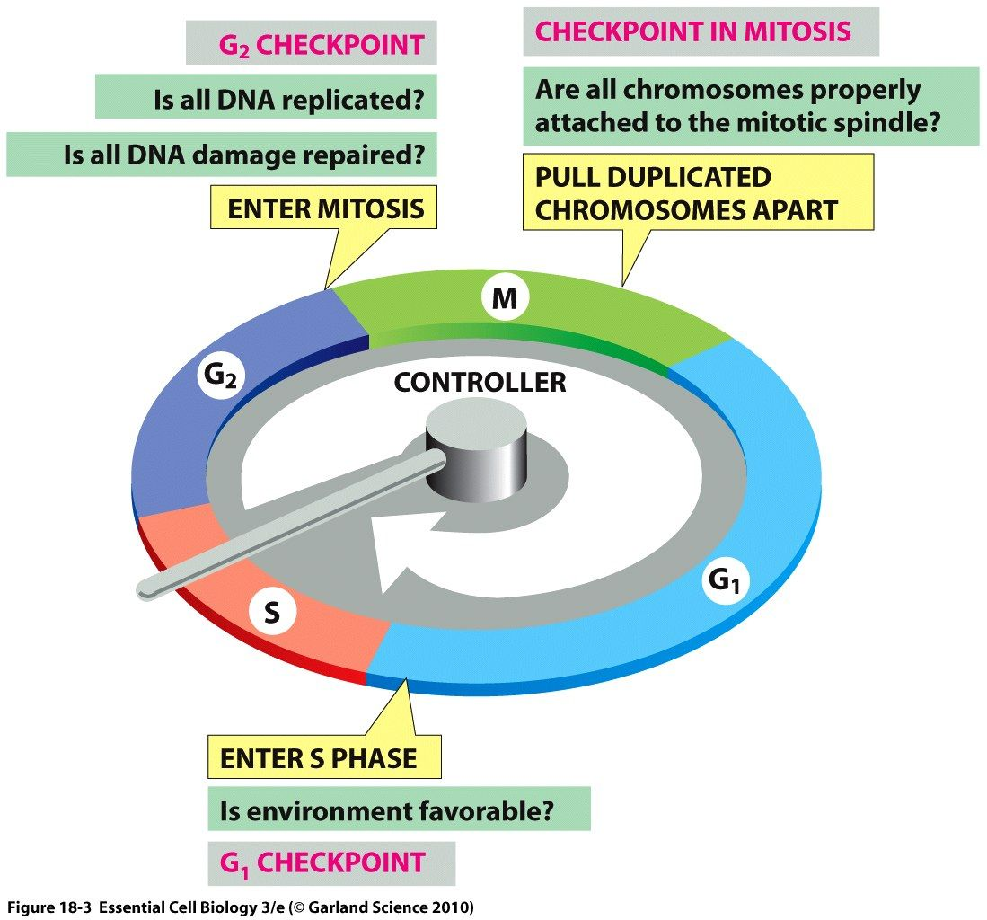 cell cycle checkpoints Google Search Science