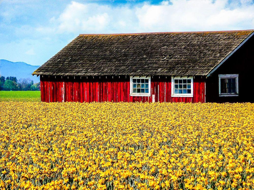 Daffodils Daffodils, Barn, Spring flowers