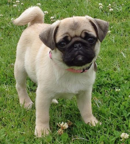 Mabel The Pug Puppy So Cute Pug Puppies Pugs Puppies