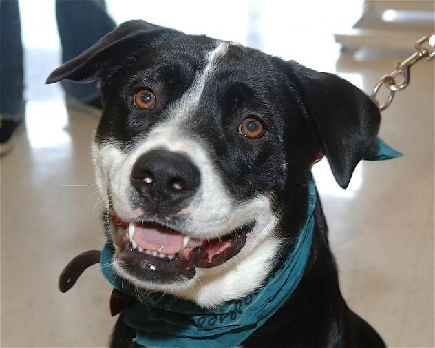 Adopt Loppy On Petfinder Dog Adoption Beautiful Dogs Labrador Retriever Dog