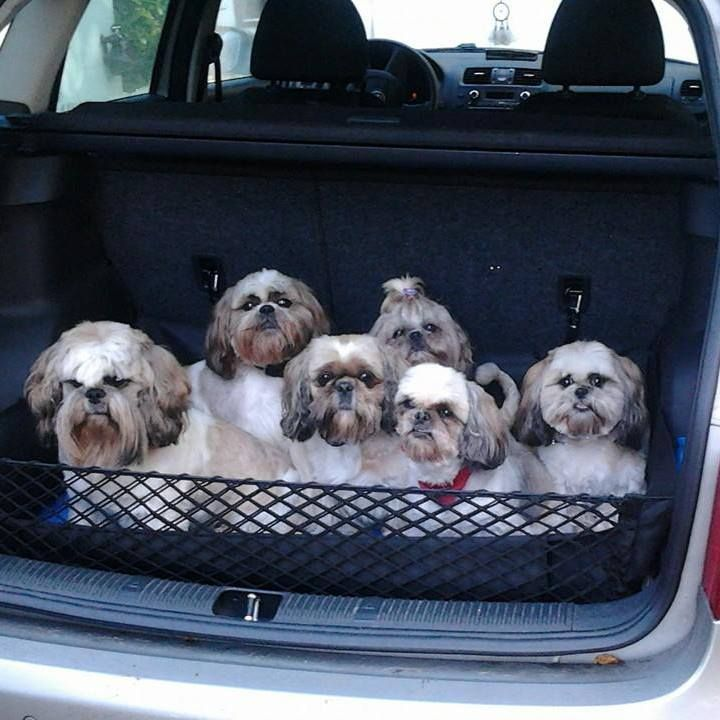 Ok...now that would be a lot of grooming to do!! shihtzu