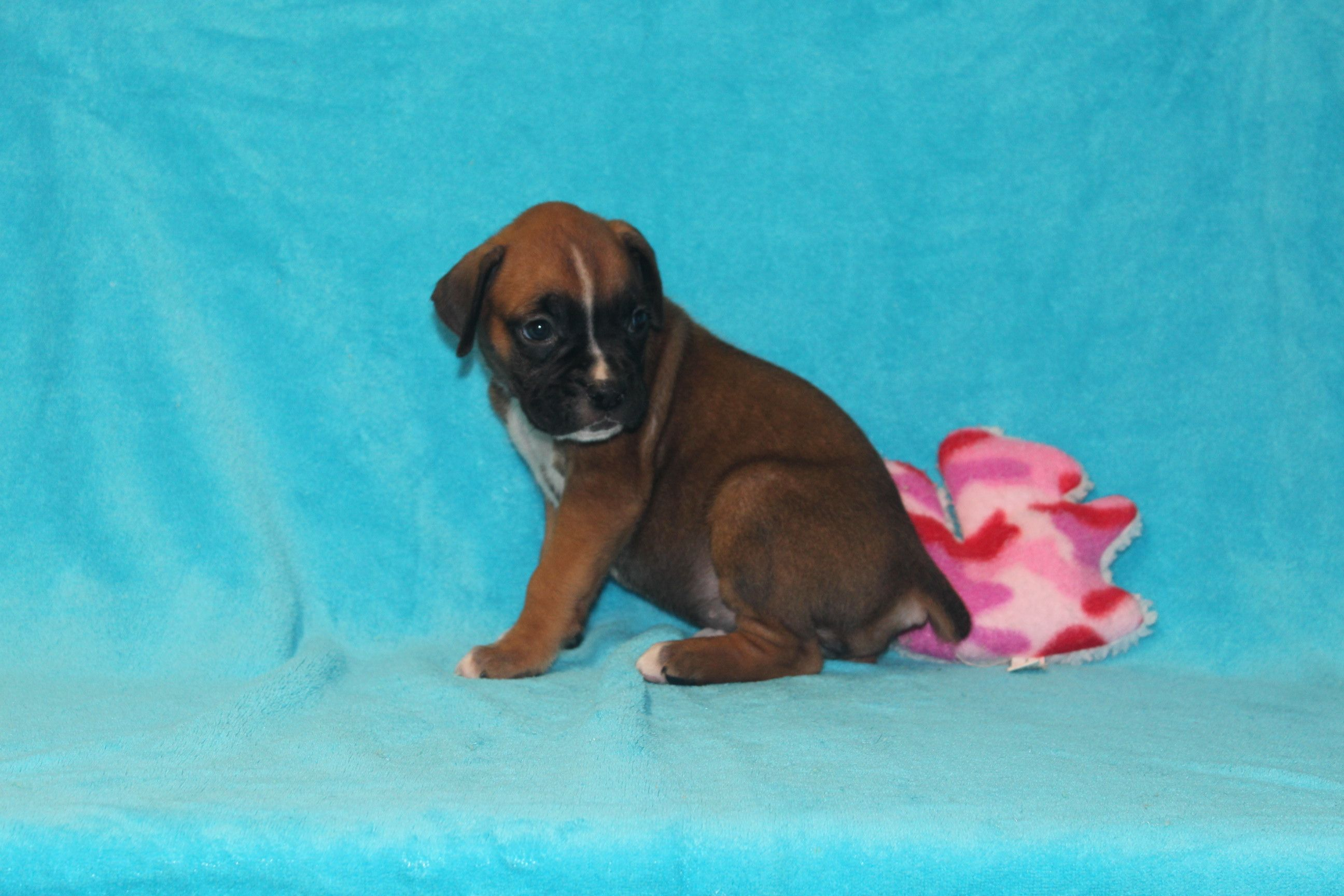 Crystal Akc Doggie Boxers For Sale In Corning Ohio Puppies