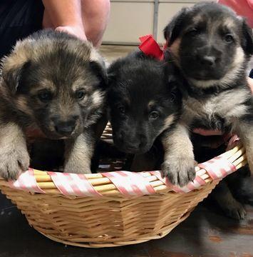 Litter of 3 German Shepherd Dog puppies for sale in RENO