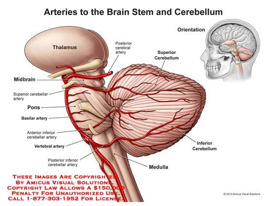 A rendering of the hindbrain with brainstem, cerebellum, and ...