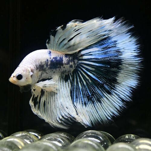 Live Betta Fish Fancy Blue Marble Neon Glow Sp150 Premium Grade Ebay Betta Fish Neon Glow Blue Marble